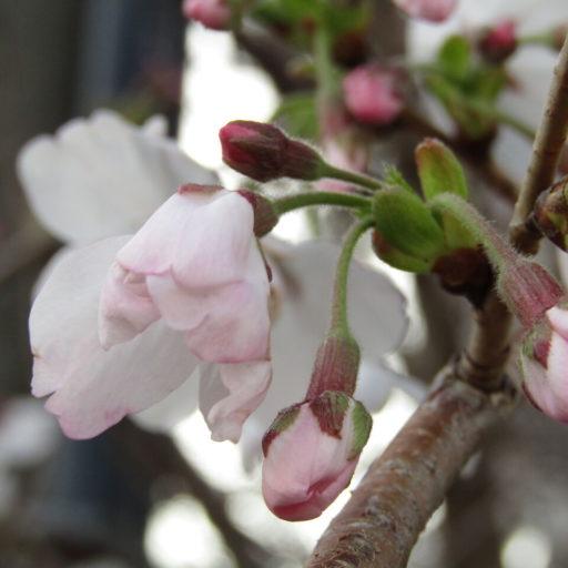 【2020春】桜が咲く頃